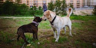 Två gulliga hundkapplöpning, guld- labrador och fransk bulldogg som får veta och hälsar sig, genom att sniffa royaltyfri bild