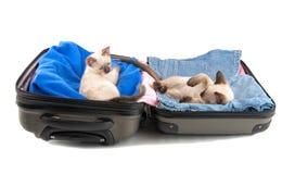 Två gulliga kattungar, i packat upp bagage Royaltyfria Bilder