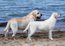 Två gulliga labradors vid havet Royaltyfria Foton