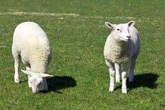 Två gulliga lamm Arkivbilder