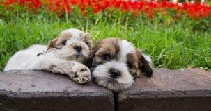 Två gulliga Shih Tzu hundkapplöpning Royaltyfria Foton