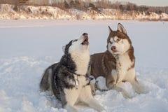 Två gulliga siberian skrovliga hundkapplöpningtjut på snö royaltyfri bild