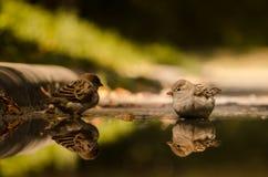 Två gulliga sparvar som reflekterar i pöl av regnvatten Arkivfoto