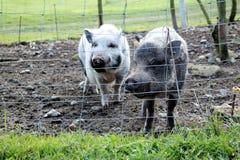 Två gulliga sunda svin Royaltyfri Foto