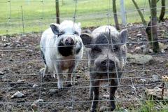 Två gulliga sunda svin Royaltyfria Bilder