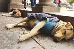 Två gulliga tillfälliga hundkapplöpning sover med samma poserar royaltyfri bild