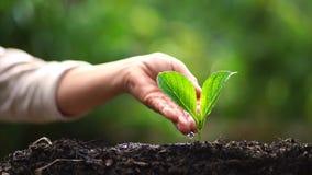 Två händer som växer en ung grön växt arkivfilmer