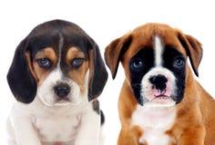 Två härliga beaglevalpar Arkivbild