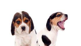 Två härliga beaglevalpar Arkivfoton