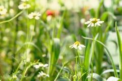 Två härliga blommor för vit tusensköna med gräsplansidafältet i trädgården, ljust dagljus härlig naturlig blommande coneflower Royaltyfri Foto