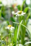 Två härliga blommor för vit tusensköna med gräsplansidafältet i trädgården, ljust dagljus härlig naturlig blommande coneflower Arkivbild