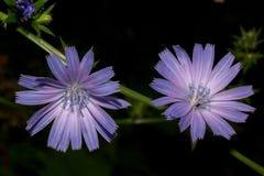 Två härliga blommor som blomstrar på en fatta av cikorien Levande natur Arkivbilder