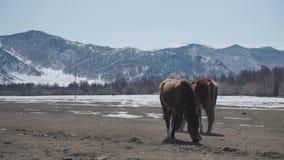 Två härliga hästar går i bergen wild natur för familjhästlivstid Royaltyfri Bild