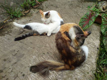 Två härliga katter Royaltyfria Bilder