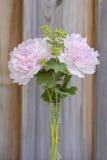 Två härliga nya rosa pioner Royaltyfria Bilder