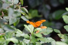 Två härliga orange Julia fjärilar som vilar på en buske Arkivfoto