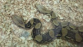 Två härliga ormar Royaltyfri Bild