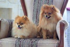 Två härliga pomeranian puppys sitter i stolen Royaltyfria Foton