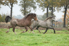 Två härliga ponnyhingstar i höst Arkivbilder