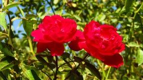Två härliga röda rosor för bakgrunder arkivbilder