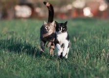 Två härliga roliga gulliga katter är roliga och snabba att köra ett lopp thr Royaltyfria Bilder