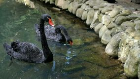 Två härliga svarta svanar simmar i ett lugna dekorativt damm tillsammans stock video
