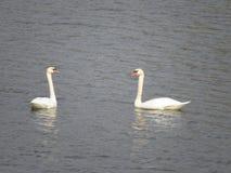 Två härliga vita svanar som simmar på floden fotografering för bildbyråer