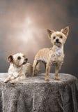Två härliga Yorkshire terrier Royaltyfria Bilder