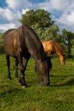 Två hästar äter gräs Royaltyfria Foton