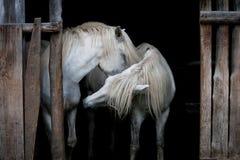 Två hästar Arkivfoto