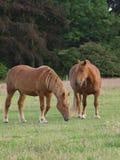 Två hästar Arkivbilder