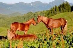 Två hästar betar på rörande huvud mot bakgrunden av arkivbild