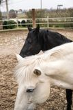 Två hästar, en som är vit, och en som är svart och att spela, äta och havande gyckel tillsammans Hästar av olika färger i det lös arkivfoto