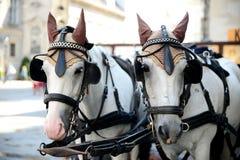 Två hästar - exploateras till en vagn för körning av turister Royaltyfria Bilder