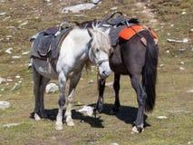 Två hästar för turister på Rohtangen passerar, som är på vägen Manali - Leh Indien Himachal Pradesh Fotografering för Bildbyråer