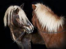 Två hästar framme av svart bakgrund Royaltyfria Foton