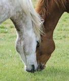 Två hästar i ängen Arkivfoton