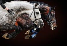 Två hästar i banhoppning visar, på brun bakgrund Arkivfoto