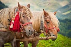 Två hästar i bergen, headshot royaltyfria bilder