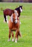 Två hästar i bondefältet Arkivfoton