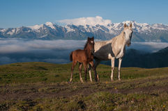 Två hästar i de höga bergen Royaltyfri Fotografi