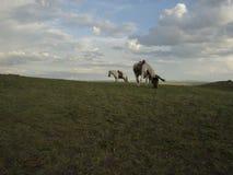 Två hästar i Inner Mongolia Royaltyfria Bilder