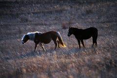 Två hästar i inställningssolen Arkivfoto