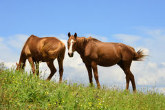 Två hästar i Marche Royaltyfri Bild