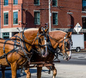 Två hästar i sele Arkivbilder