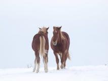 Två hästar i snön Arkivfoton