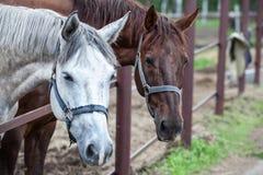 Två hästar i stallen royaltyfria bilder