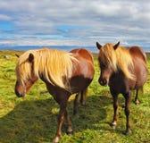 Två hästar med gula män Arkivbilder