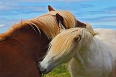 Två hästar med vita män Arkivbild