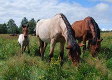 Två hästar och fölet Arkivfoto